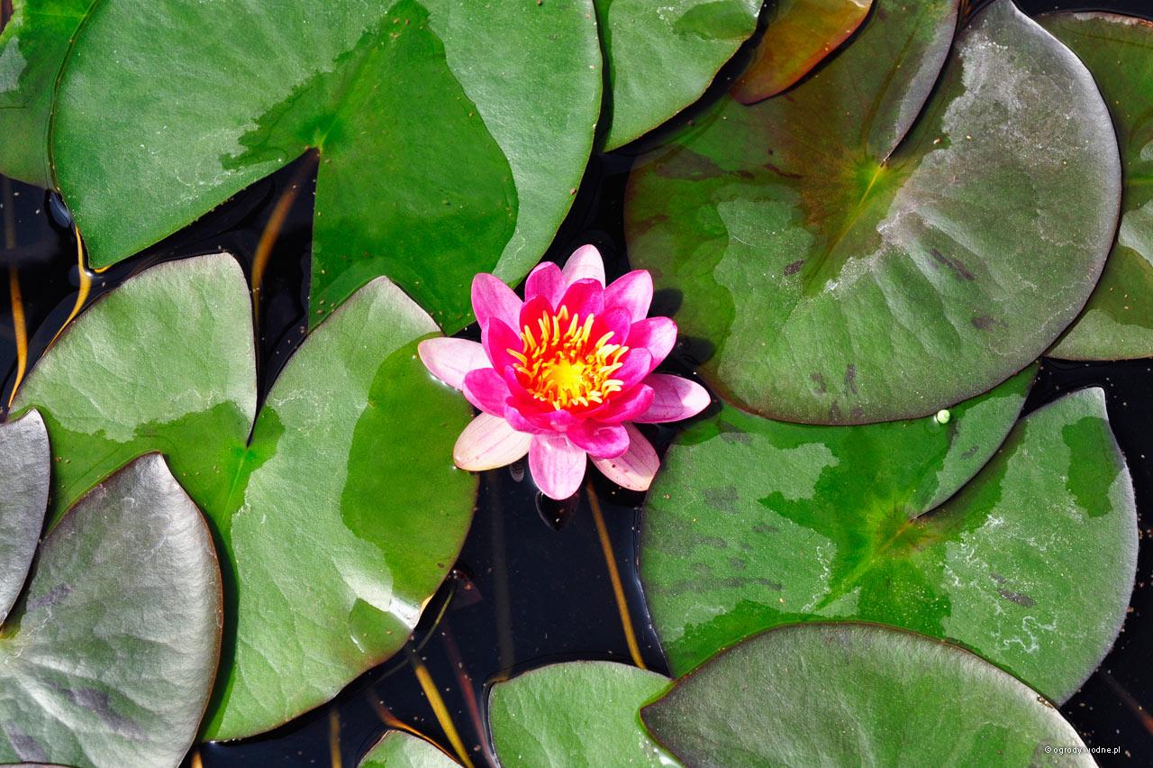 """Nymphaea """"Xa Fei"""", lilia wodna, grzybień"""