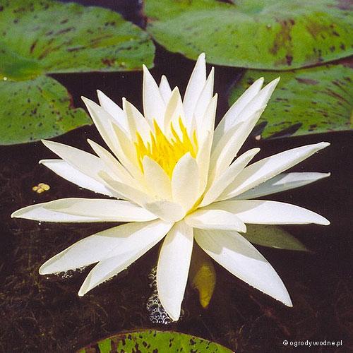 """Nymphaea """"Yellow Queen"""", lilia wodna, grzybień"""
