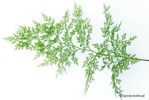 Onychium japonicum, onychium japońskie