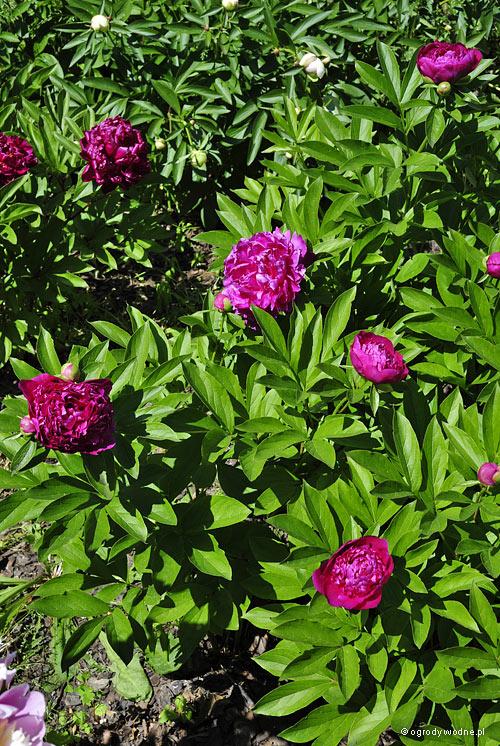 """Paeonia lactiflora """"Felix Crousse"""", piwonia chińska"""