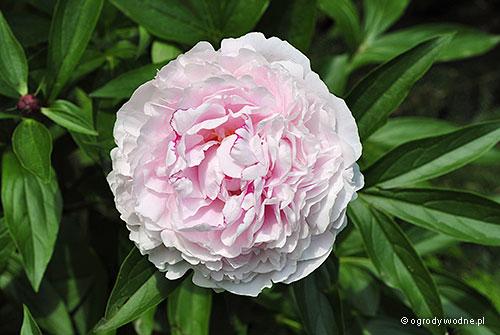 """Paeonia lactiflora """"Sarah Bernhardt"""", piwonia chińska"""