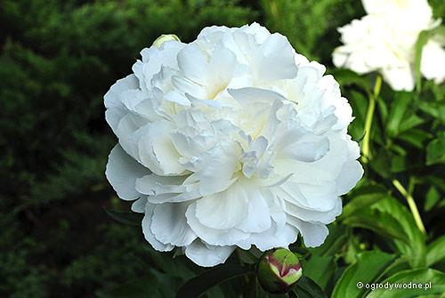 "Paeonia lactiflora ""Shirley Temple"", piwonia chińska"