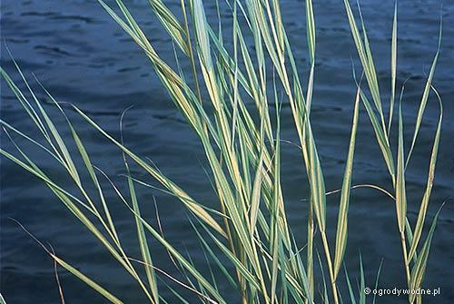 """Phragmites australis """"Variegatus"""", trzcina pstrolistna"""