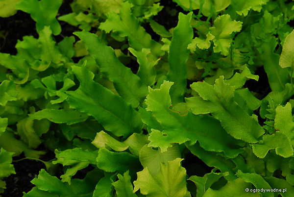 """Phyllitis scolopendrium """"Furcata"""", języcznik zwyczajny"""