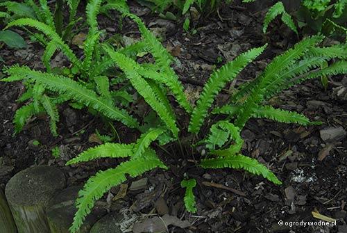 """Phyllitis scolopendrium """"Marginata"""", języcznik zwyczajny"""