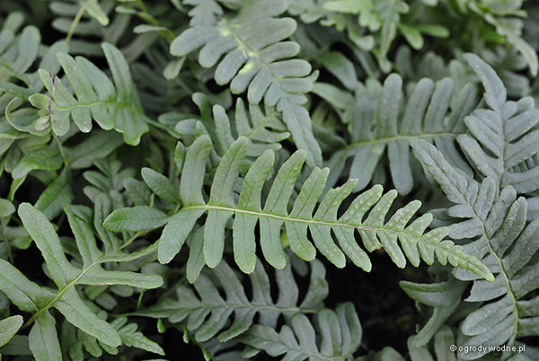 Polypodium vulgare, paprotka zwyczajna