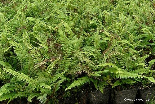 """Polystichum setiferum """"Bulbiferum"""", paprotnik szczecinkozębny"""