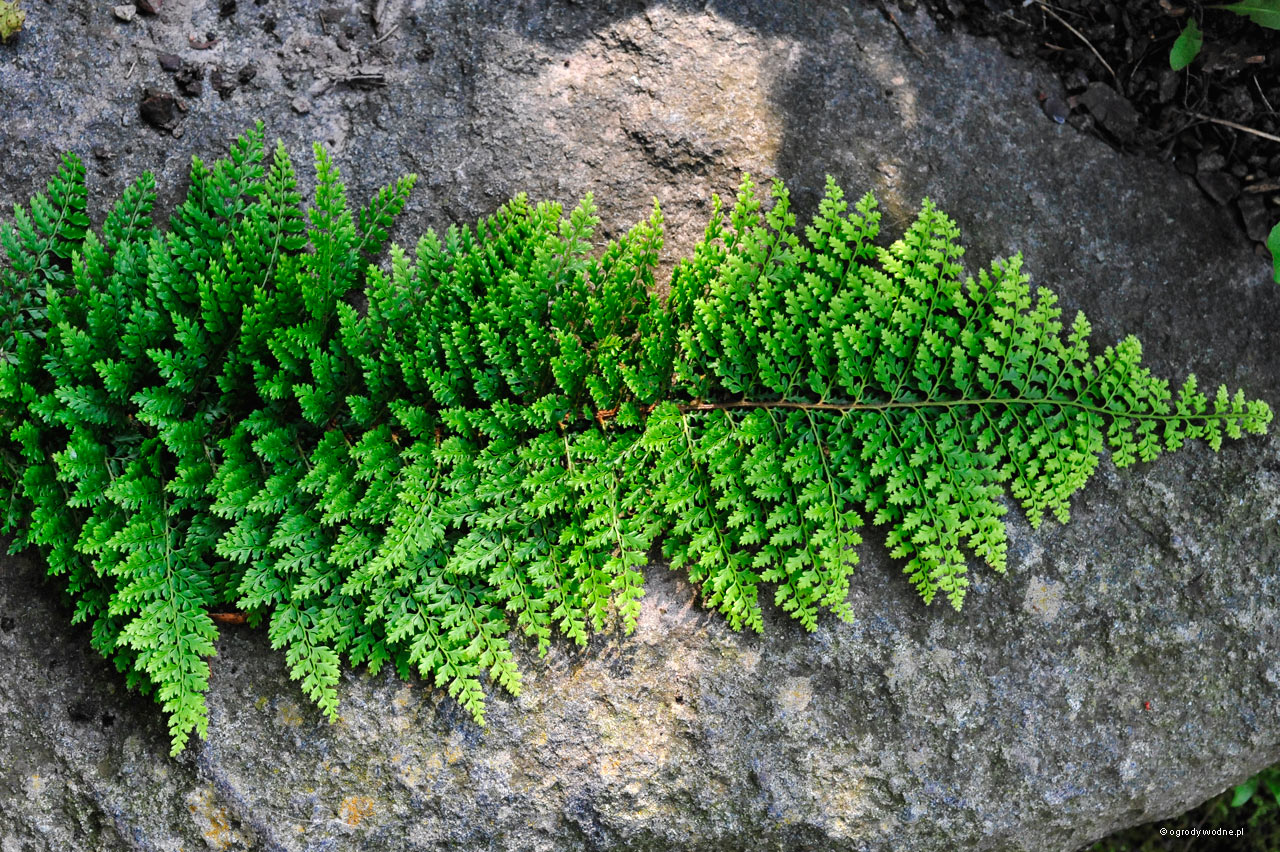 "Polystichum setiferum ""Plumosum Densum"", paprotnik szczecinkozębny"