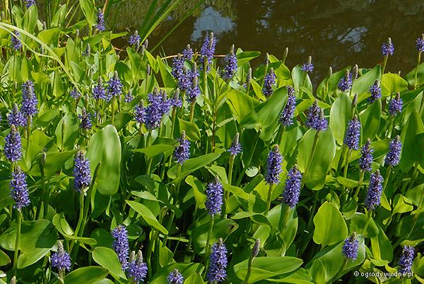 """Pontederia cordata """"Blue"""", rozpław sercowaty niebieski"""