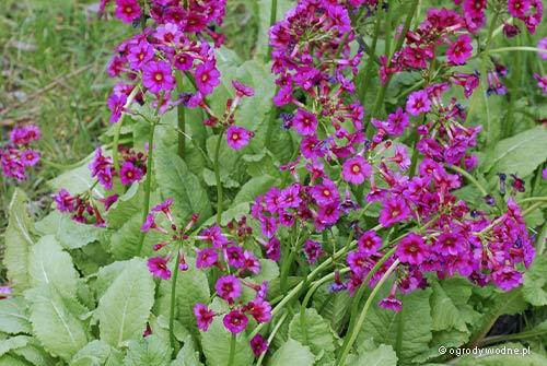 "Primula japonica ""Miller's Crimson"", pierwiosnek japoński"