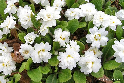 """Primula vulgaris """"Dawn Ansell"""", pierwiosnek zwyczajny"""
