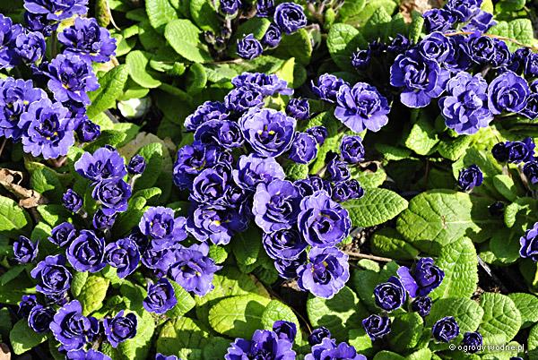 """Primula vulgaris """"Miss Indigo"""", pierwiosnek zwyczajny"""