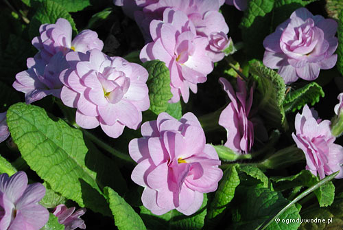 """Primula vulgaris """"Quakers Bonnet"""", pierwiosnek zwyczajny"""