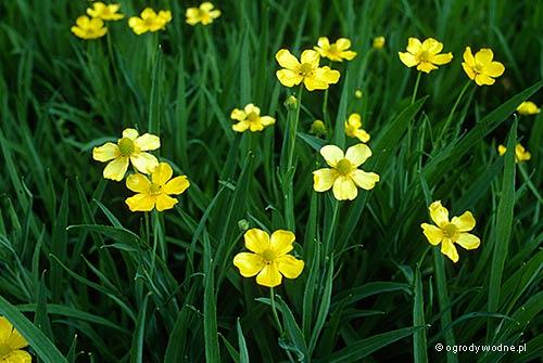 "Ranunculus lingua ""Grandiflora"", jaskier wielkokwiatowy"