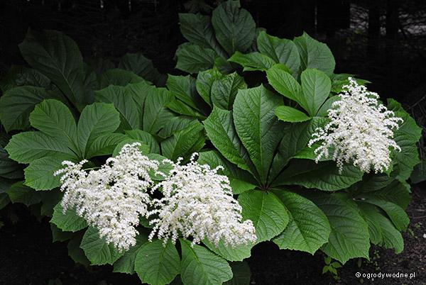 Rodgersia aesculifolia, rodgersja kasztanowcolistna