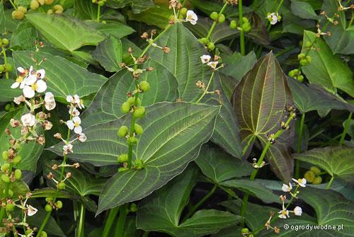 "Sagittaria australis ""Benni"", strzałka australijska"