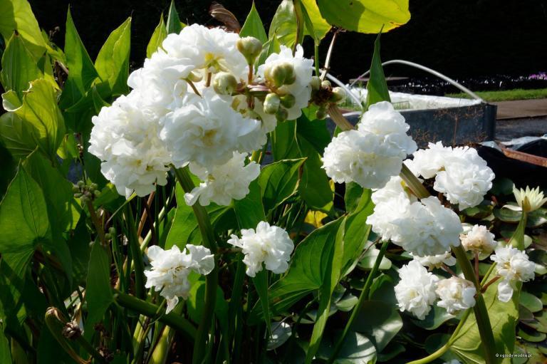 Sagittaria japonica Flore Pleno