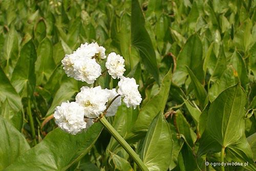 """Strzałka japońska pełnokwiatowa, sagittaria japonica """"Flore Pleno"""""""