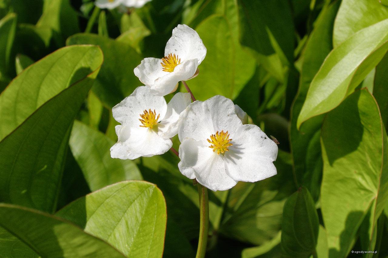 """Sagittaria latifolia """"Jumbo"""", strzałka szerokolistna"""