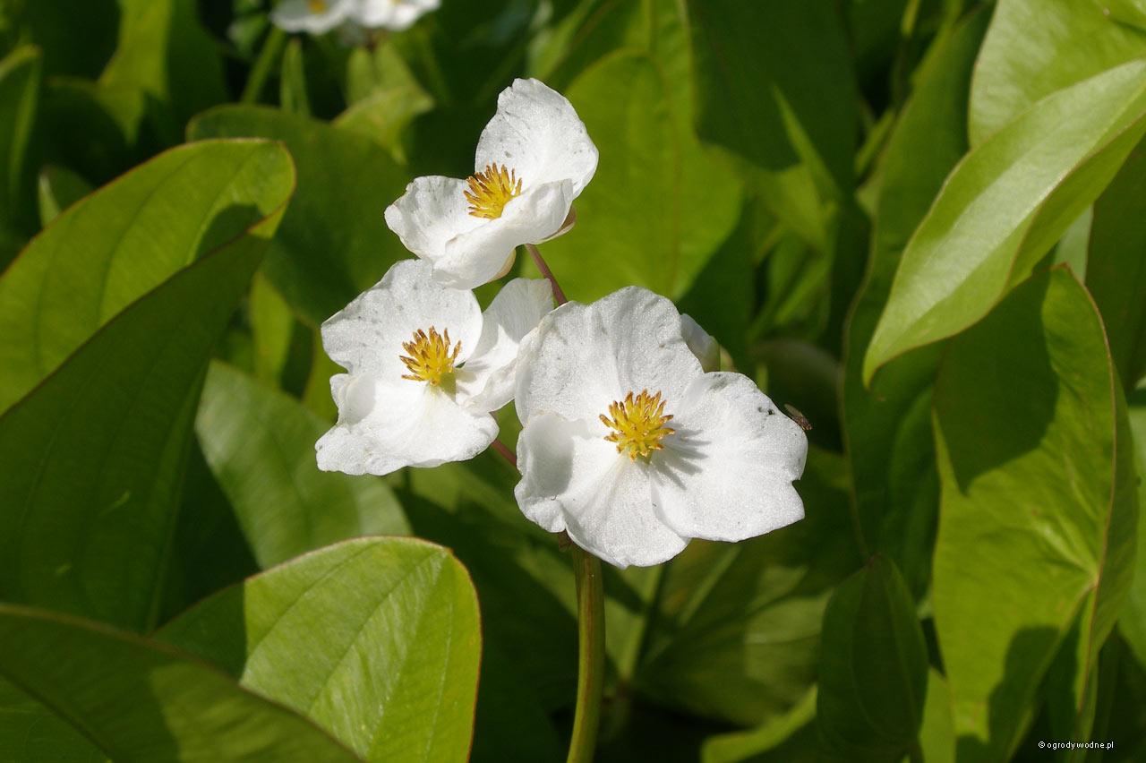 Sagittaria latifolia - strzałka - kwiat