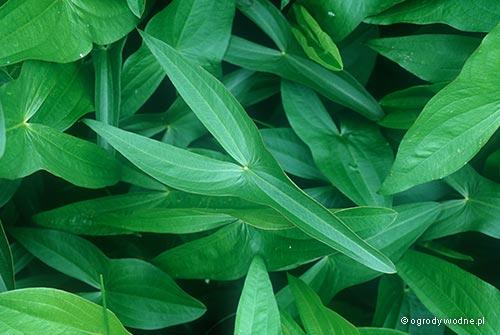 Sagittaria sagittifolia, strzałka wodna
