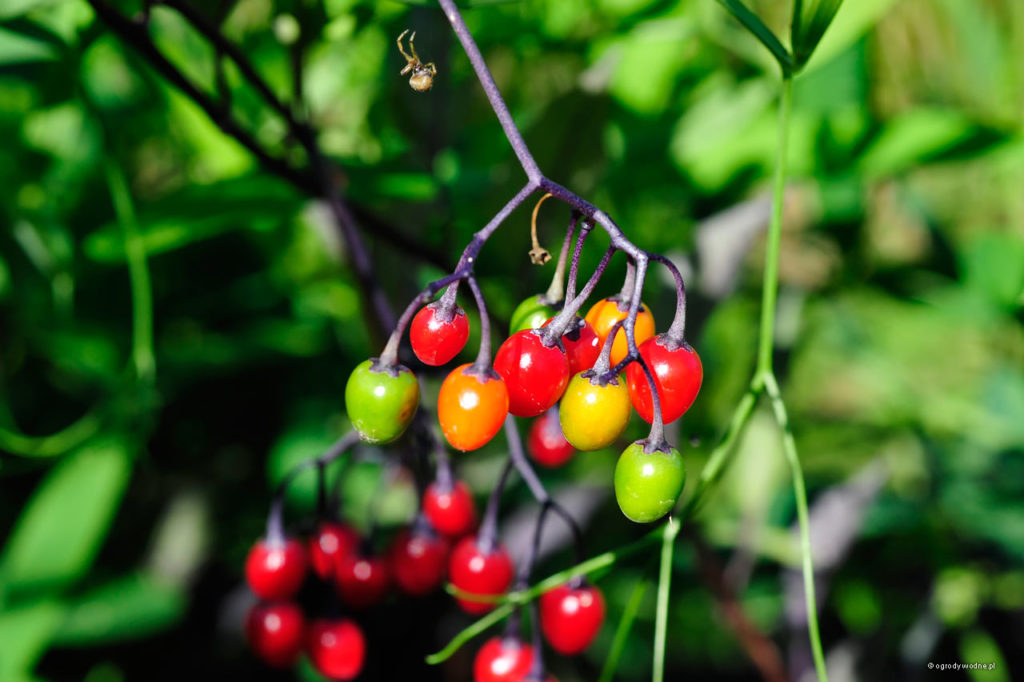 Solanum dulcamara, psianka słodkogórz