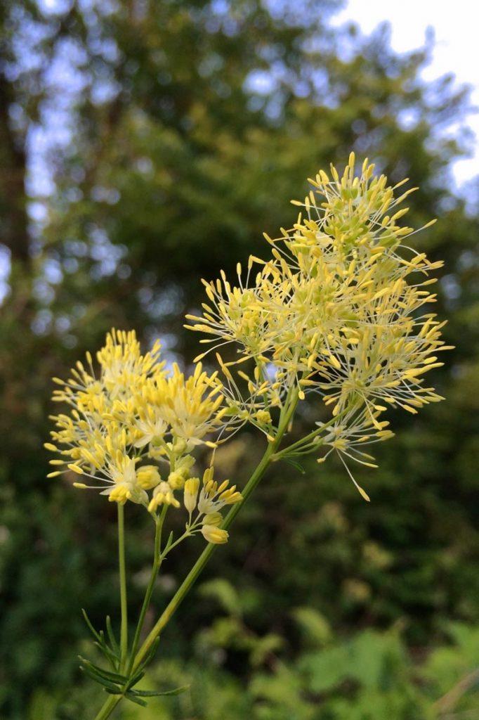Thalictrum lucidum, rutewka wąskolistna