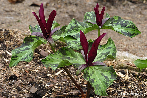Trillium kurabayashi, trójlist kurabayashi