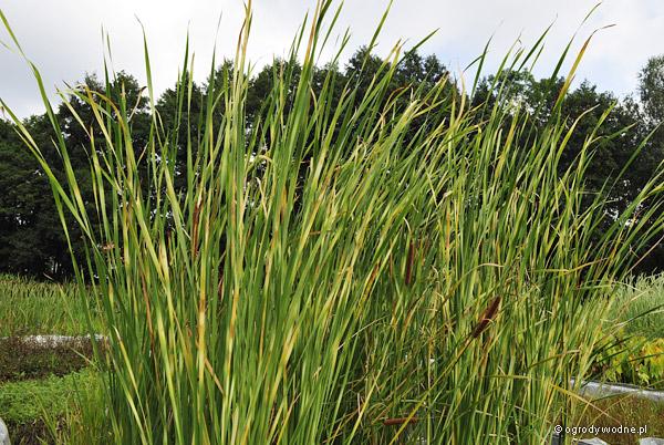 """Typha angustifolia """"Zebratails"""", pałka wąskolistna"""