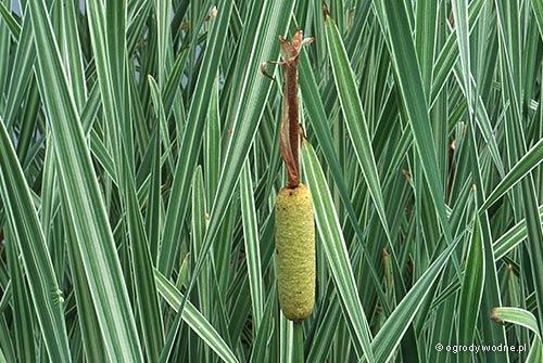 "Typha latifolia ""Variegata"", pałka szerokolistna pstra"