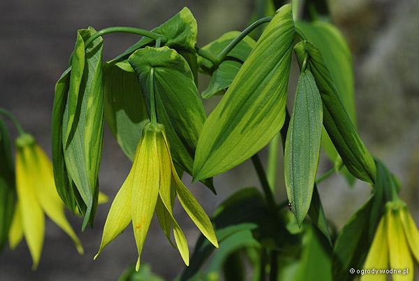 Uvularia grandiflora ze złotym brzegiem liścia