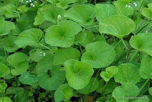 Viola palustris, fiołek błotny